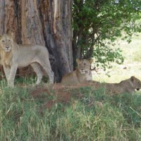 Pride of lions in Tanzania.