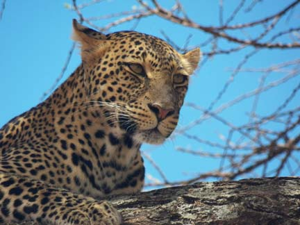 Leopard resting in a tree.