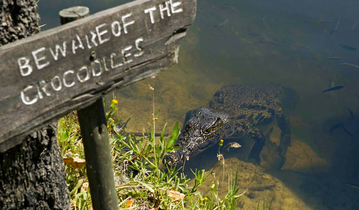 Crocodile emerges from the Delta