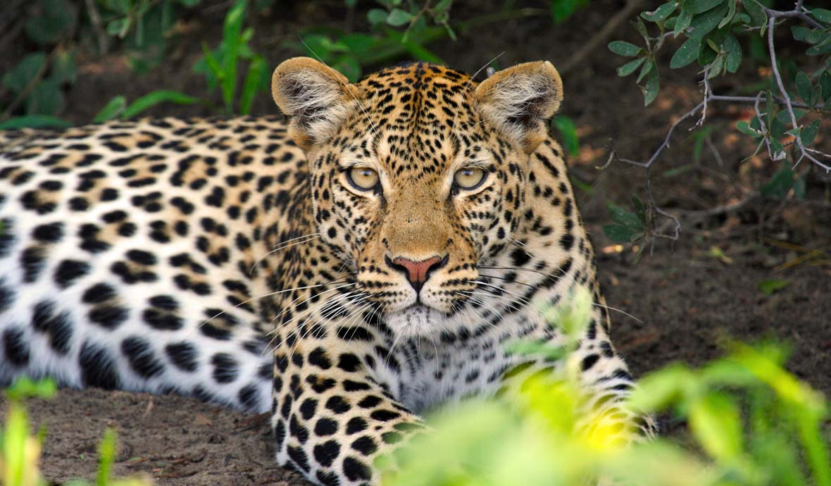 A leopard relaxes in the shade.