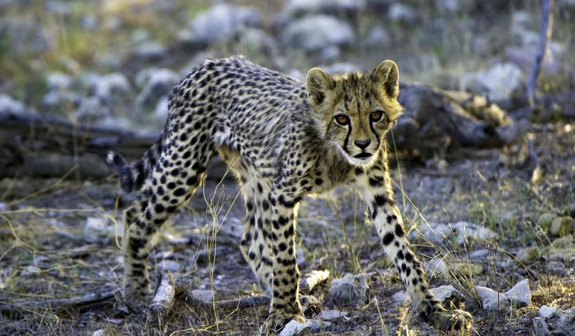 Cheetah in Etosha, Namibia