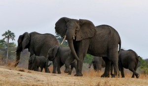 Elephants, Katavi National Park