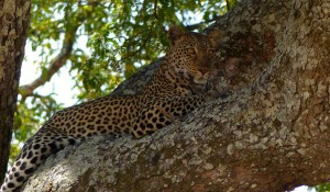 Leopard, Katavi National Park
