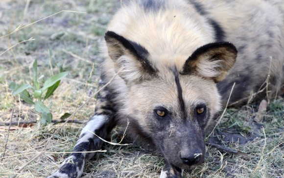 In Zambia, a wild dog lays on the grass. Photo by Margaret C.