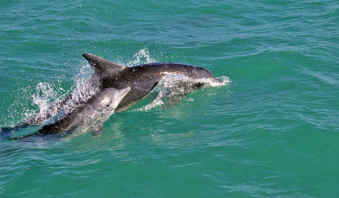 Dolphin swims near Cape Town