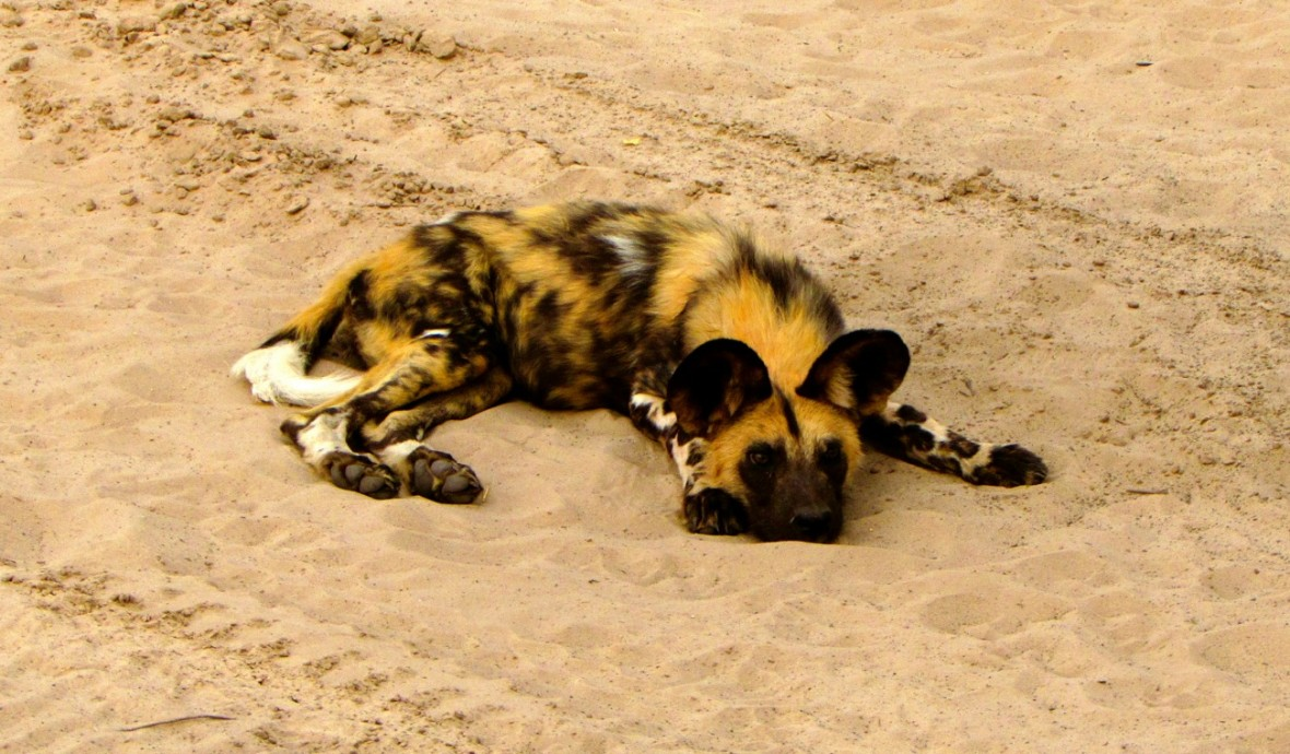 Wild dog in the middle of the road.